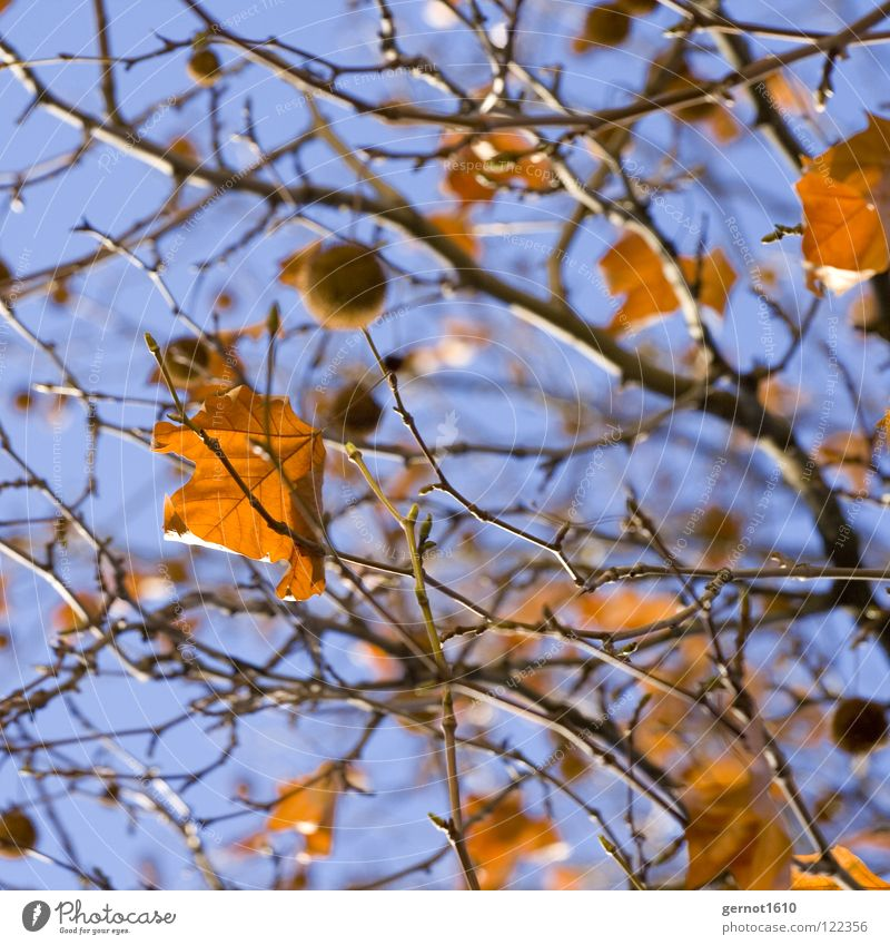 winter sun Leaf Autumn leaves Tree Winter Bushes Sky Fruits Frucjtkörper American Sycamore Blue Branch Beautiful weather