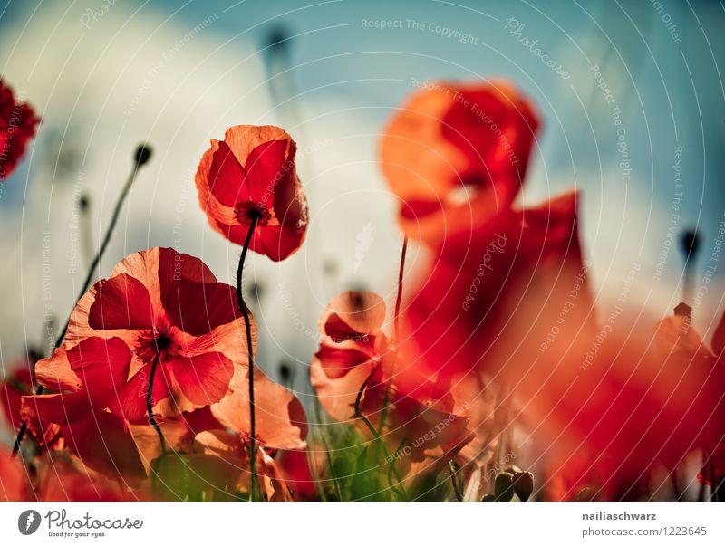 Blue Green Summer Sun Flower Red Meadow Grass Garden Field Idyll Blossoming Poppy Flower meadow Peaceful Summery