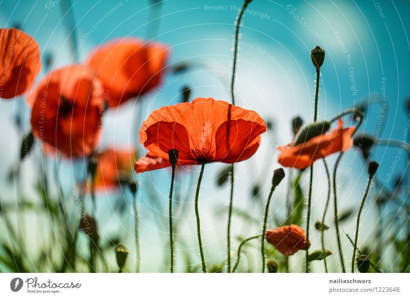 Poppies on summer meadow Summer Sun Garden Flower Grass Meadow Field Blossoming Blue Green Red Peaceful Idyll Poppy Corn poppy papaver rhoeas Meadow flower