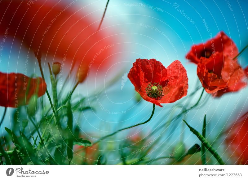 Poppies on summer meadow Summer Sun Garden Flower Grass Meadow Field Blossoming Blue Green Red Peaceful Idyll Pure Poppy Corn poppy Meadow flower garden flower