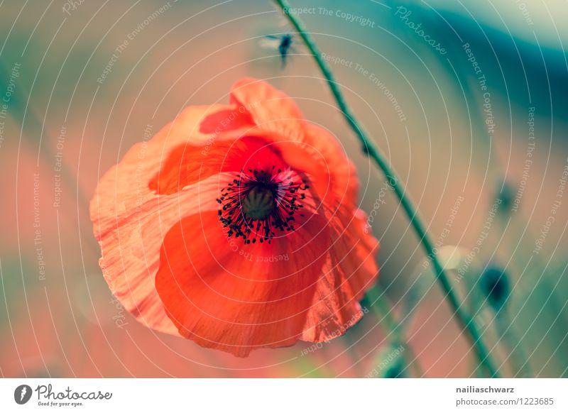 Blue Green Summer Sun Flower Red Meadow Grass Garden Field Idyll Blossoming Poppy Summery Peaceful Flower meadow