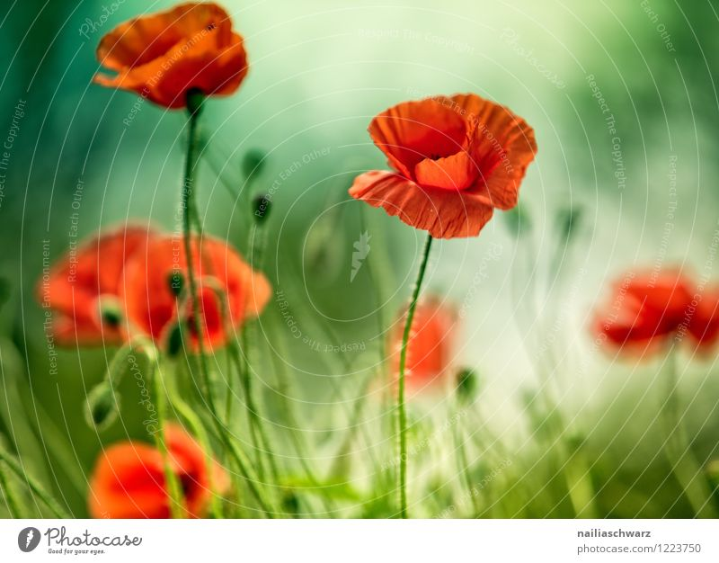 Poppies on summer meadow Summer Sun Garden Plant Flower Grass Meadow Field Blossoming Blue Green Red Peaceful Idyll Poppy Corn poppy papaver rhoeas