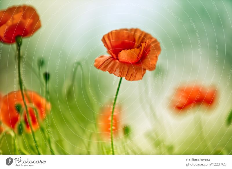 Poppies on summer meadow Summer Sun Garden Flower Grass Meadow Field Blossoming Blue Green Red Peaceful Idyll Poppy Corn poppy papaver rhoeas Meadow flower