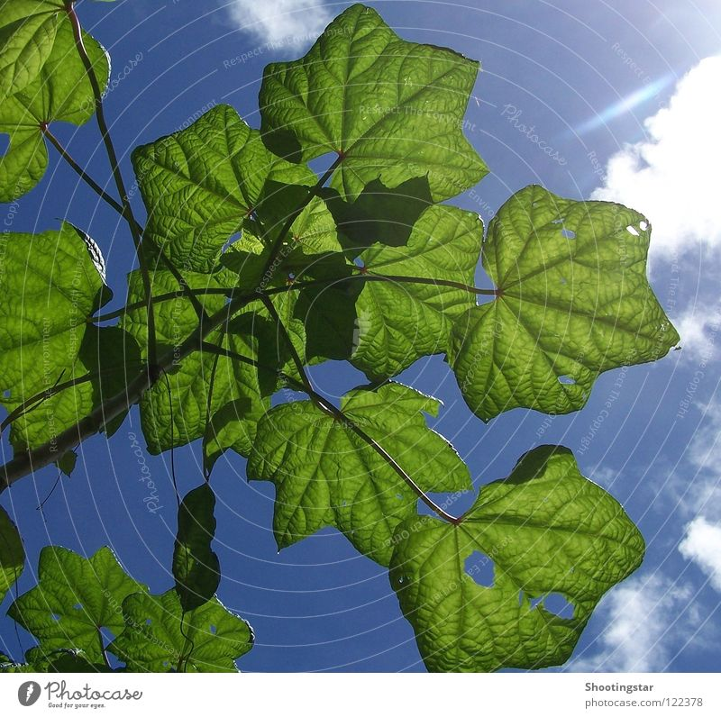 Sun Green Blue Summer Leaf Clouds Force Bushes Hollow X-rayed