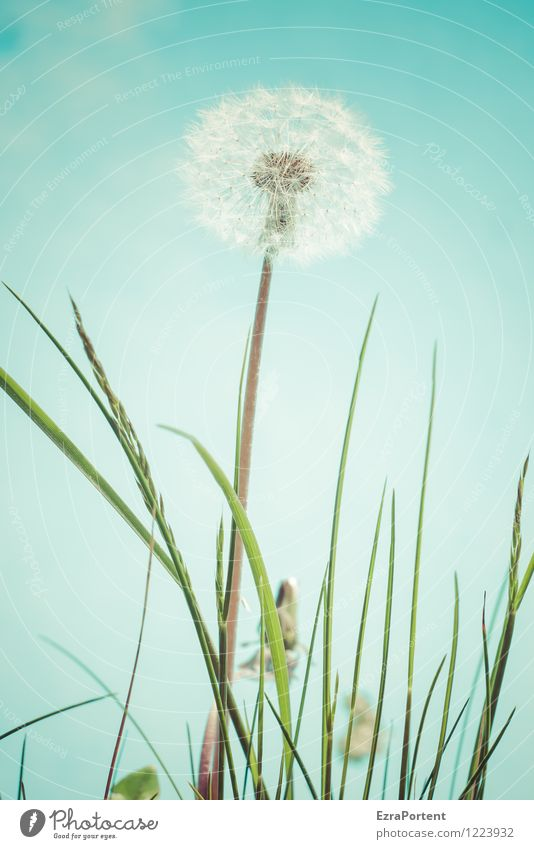 shortly before departure Environment Nature Plant Sky Spring Summer Flower Grass Blossom Garden Esthetic Bright Blue Green White Weed Dandelion taraxacum Seed