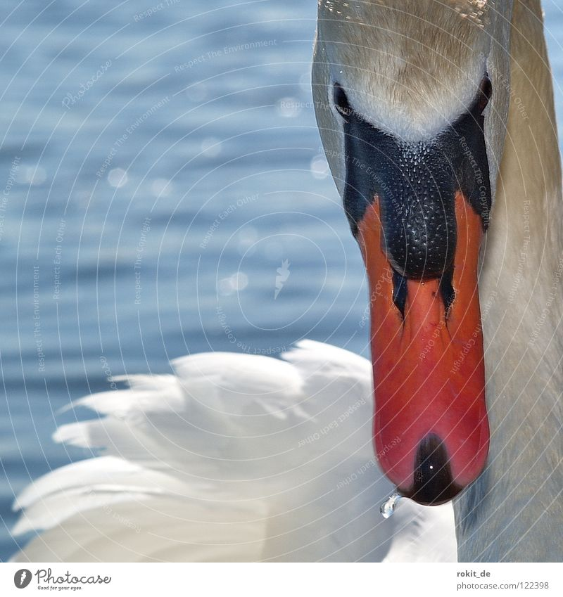 Swan Knight Lohengrin Attack Beak Bird Fix Looking King Ludwig Rhine Eltville Rheingau Beautiful my dear swan wage grin fixed view deep look