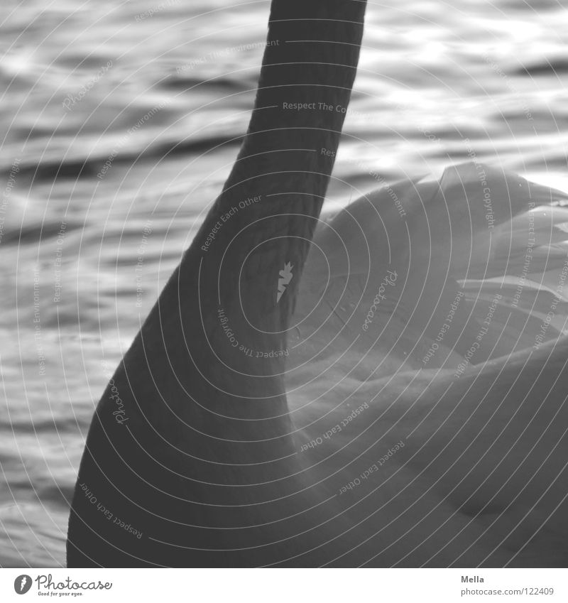 Water White Waves Bird Swimming & Bathing Wing Feather Delicate Float in the water Neck Fine Swan Swing Curved Parts of body