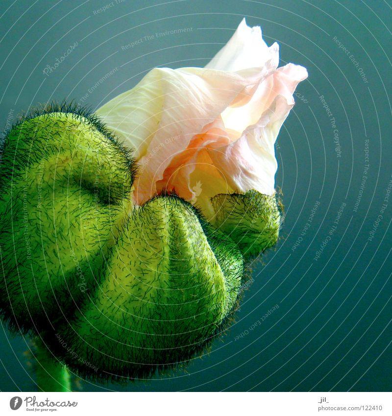 pink poppy 2 Poppy Poppy blossom Flower Round Undo Deploy Pink White Bright yellow Green Turquoise Black Beautiful volumes
