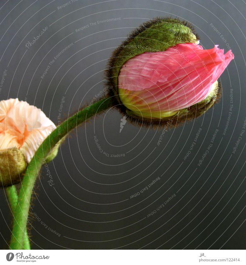 two poppies 2 Poppy Poppy blossom Flower Round Pink Yellow Green Khaki Gray Black Beautiful volumes apricot