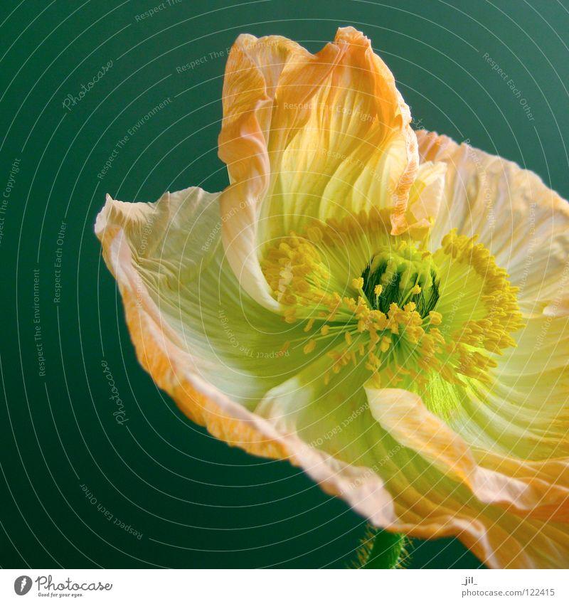 Beautiful Flower Green Black Yellow Movement Orange Open Poppy Turquoise Easy Ease Swing Deploy Poppy blossom Khaki