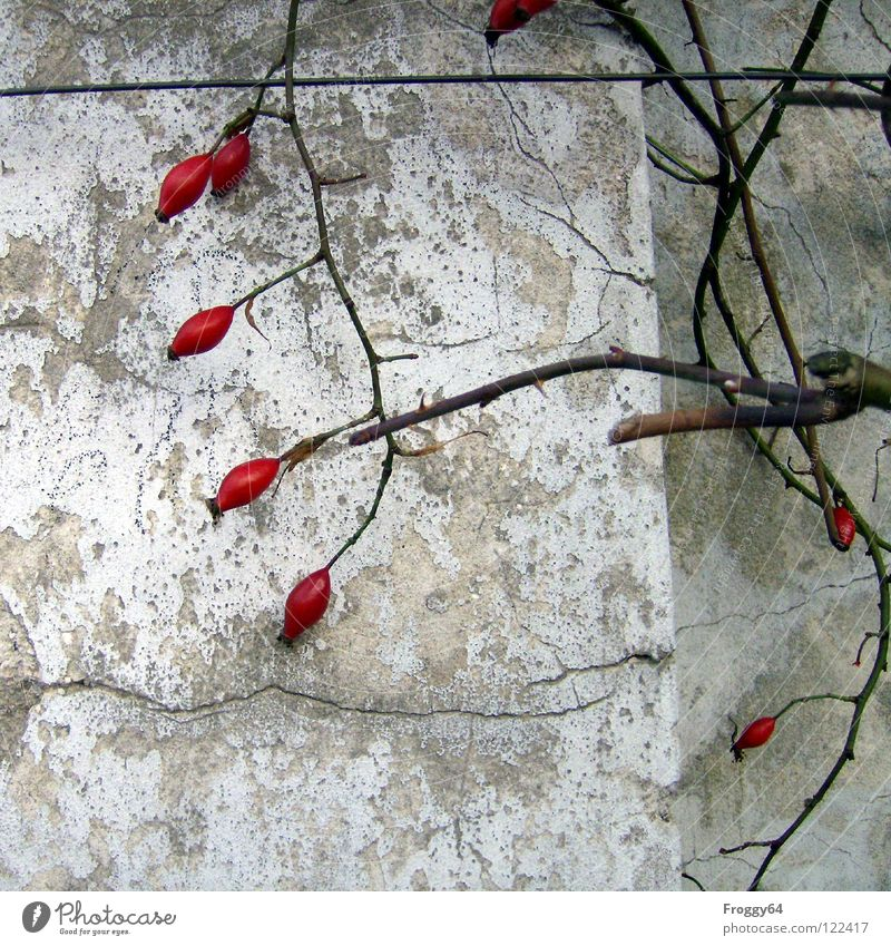 Red Fruits Rose Wall (building) White Wall (barrier) Thorn Plaster Wire Corner Garden Park Berries Branch Twig Colour Crack & Rip & Tear Old Dog rose