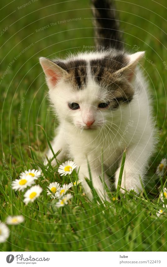 Grass Cat Daisy Mammal Domestic cat Meadow flower Flower