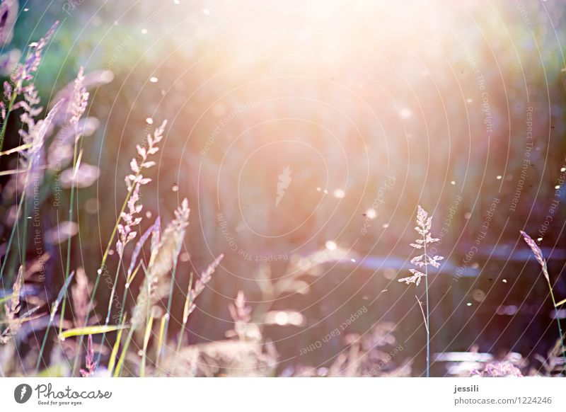 sum Nature Landscape Plant Sunrise Sunset Sunlight Summer Beautiful weather Grass Wild plant Meadow Field River bank Flock Emotions Moody Happy Happiness