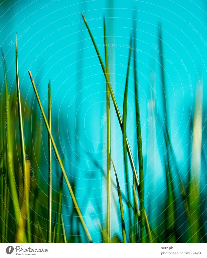 Cane Common Reed Reeds Habitat Juncus Blossom Blossoming Grass Blade of grass Plant Nature Herbs and spices wag Environment Environmental protection Sweet grass