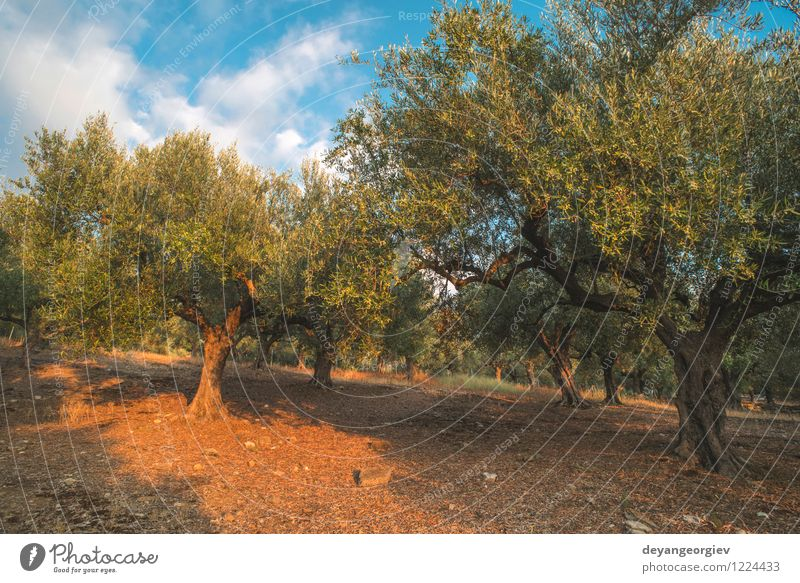 Olive trees and sun rays Vegetable Fruit Garden Culture Nature Landscape Plant Sky Tree Leaf Old Natural Green olive plantation grove Greece oil field