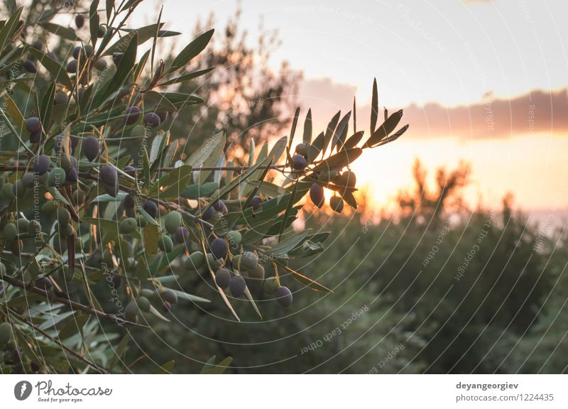 Olive trees on sunset. Nature Old Sun Tree Landscape Leaf Garden Design Earth Vantage point Culture Italy Spain Harvest Rural Greece