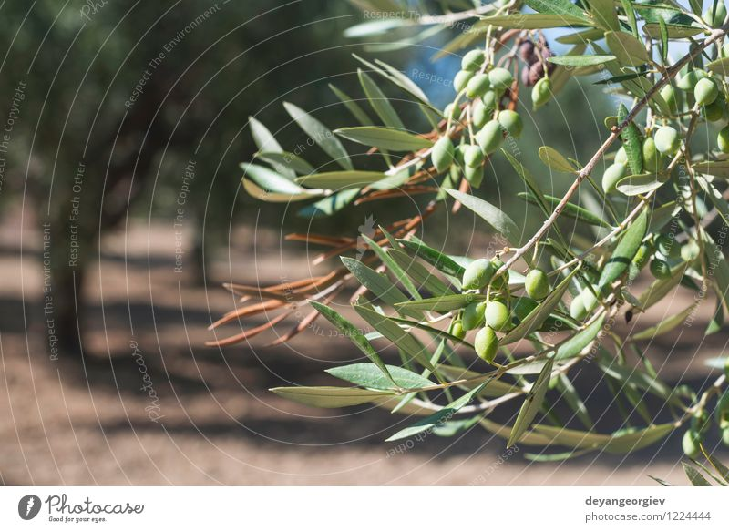 Olive branches on foreground Nature Plant Green Tree Landscape Leaf Natural Garden Fruit Fresh Italy Seasons Spain Vegetable Harvest Agriculture