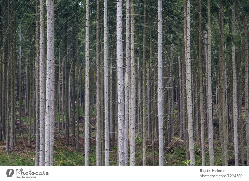 When trees play forest Environment Nature Plant Summer Tree Forest Growth Esthetic Dark Brown Green Endurance Attachment Vertical Line width Peoples Fir tree