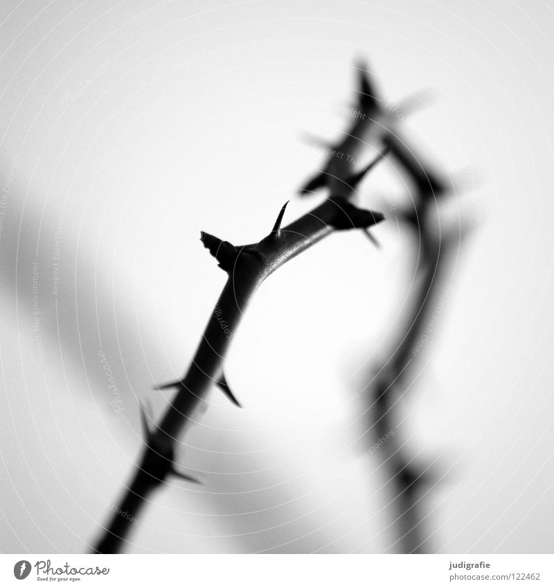 thorns Thorn Thorny Black White Defensive Blur Back-light Light Environment Growth Flourish Bushes Black & white photo Twig Blackberry Point Sleeping Beauty