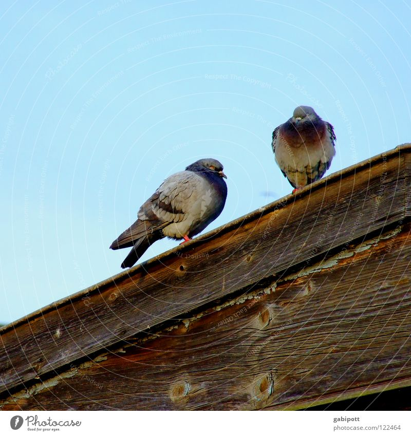 Sky Blue House (Residential Structure) Wood Gray Brown Bird Wait Dirty Sit Roof Feather Derelict Pigeon Crouch Coo