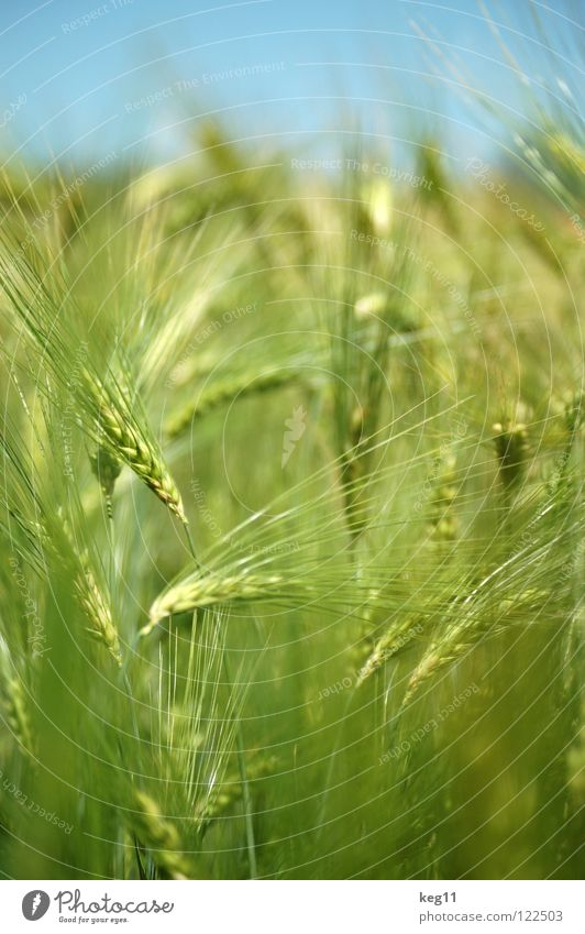 Storming barley field. Last one. Wheat Rye Barley Flower Green Grass Leisure and hobbies Beige Brown Near Summer Meadow Field Blade of grass Ear of corn White