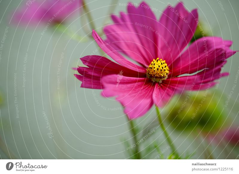 Cosmos bipinnatus Environment Nature Plant Spring Summer Flower Blossom Agricultural crop Garden Park Meadow Field Blossoming Growth Fragrance Fresh Beautiful