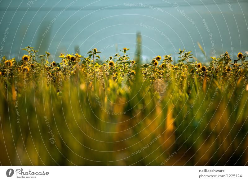 Field with sunflowers Summer Agriculture Forestry Environment Nature Plant Flower Blossom Agricultural crop Blossoming Growth Authentic Natural Beautiful Many