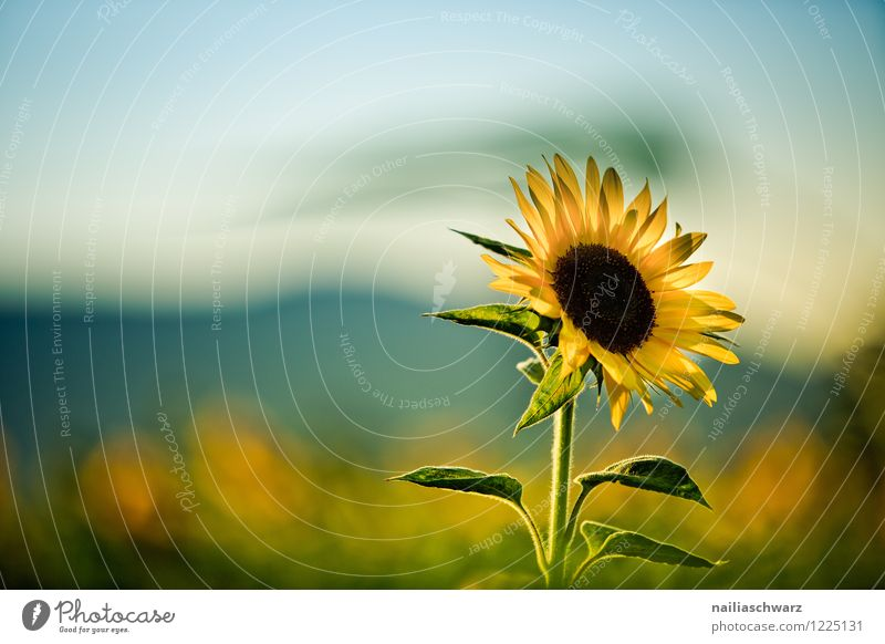 Field with sunflowers Summer Environment Nature Landscape Plant Flower Agricultural crop Garden Mountain Blossoming Growth Friendliness Natural Beautiful Many