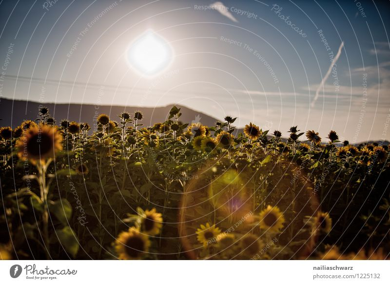 Field with sunflowers Summer Environment Landscape Plant Autumn Flower Agricultural crop Hill Blossoming Growth Far-off places Natural Beautiful Many Blue