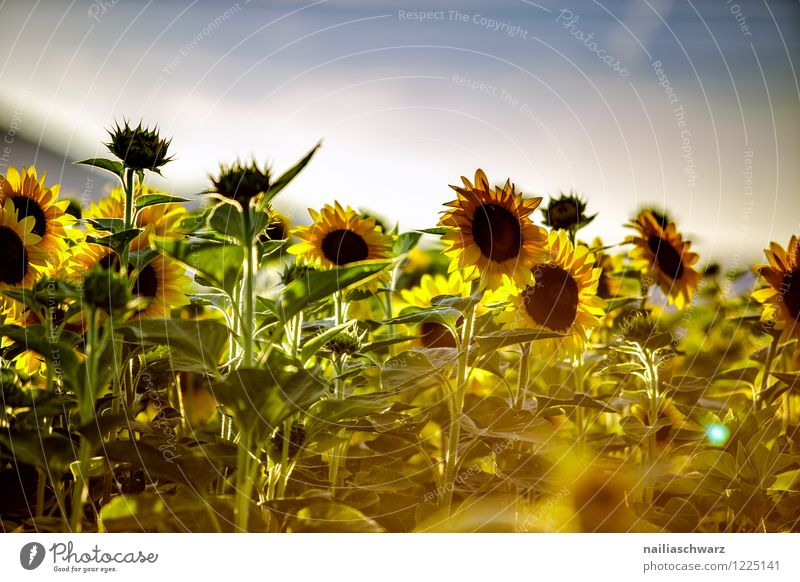 Field with sunflowers Summer Environment Nature Landscape Plant Sky Horizon Flower Agricultural crop Blossoming Fragrance Growth Natural Beautiful Many Blue