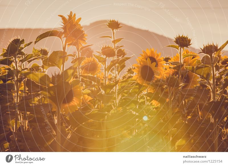 Nature Plant Beautiful Summer Flower Landscape Yellow Blossom Brown Field Growth Idyll Blossoming Infinity Hill Many