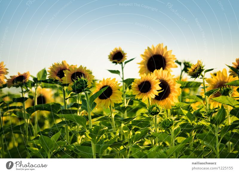 Field with sunflowers Summer Nature Landscape Plant Sky Beautiful weather Flower Blossoming Fragrance Natural Many Blue Yellow Green Joy Purity Peace Idyll