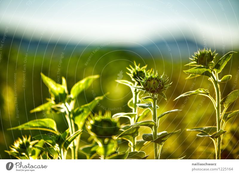 Field with sunflowers Summer Agriculture Forestry Environment Nature Landscape Plant Sunrise Sunset Sunlight Flower Blossom Agricultural crop Mountain