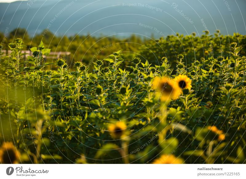 Field with sunflowers Summer Agriculture Forestry Environment Nature Landscape Plant Horizon Beautiful weather Flower Blossom Agricultural crop Hill Growth