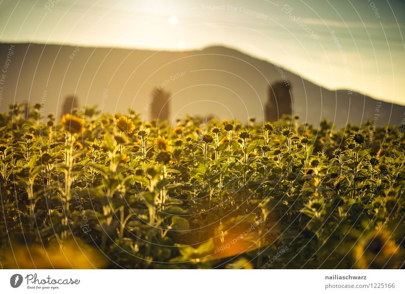 Field with sunflowers Summer Nature Landscape Plant Sunrise Sunset Flower Blossom Agricultural crop Mountain Blossoming Illuminate Natural Beautiful Many Brown