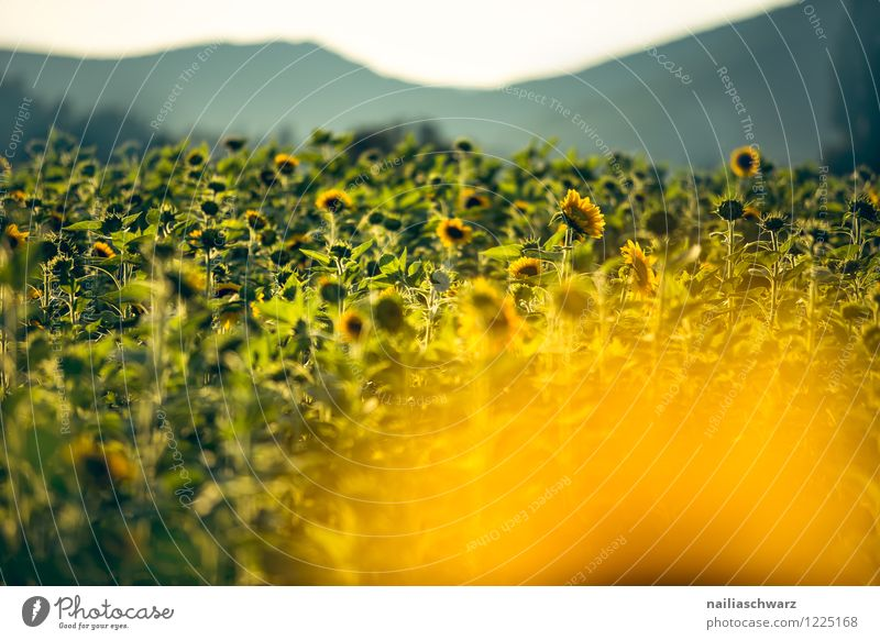 Field with sunflowers Summer Flower Hill Blossoming Growth Fragrance Infinity Natural Many Yellow Green Warm-heartedness Romance Peaceful Purity Horizon Idyll