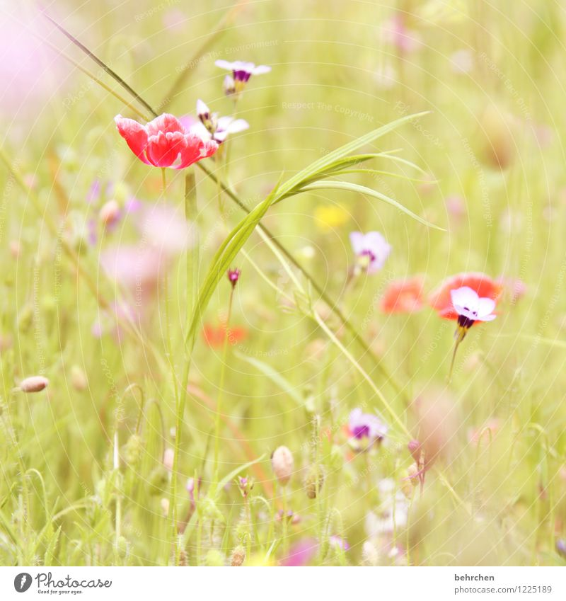 A Nature Plant Spring Summer Autumn Beautiful weather Flower Grass Wild plant Poppy Garden Park Meadow Field Blossoming Growth Kitsch Violet Pink Red