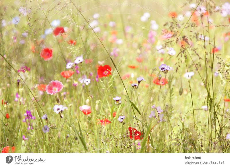 woman summer sends her greetings... Nature Plant Spring Summer Beautiful weather Flower Grass Leaf Blossom Wild plant Poppy Garden Park Meadow Blossoming Growth