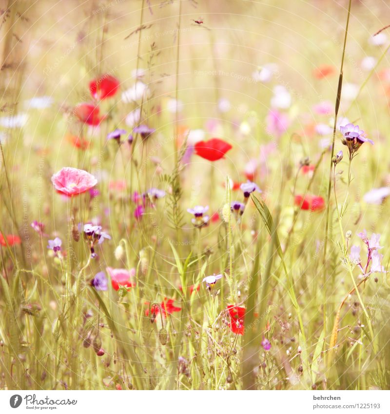 g Nature Plant Spring Summer Autumn Beautiful weather Flower Grass Leaf Blossom Wild plant Poppy Garden Park Meadow Field Blossoming Growth Kitsch Violet Pink