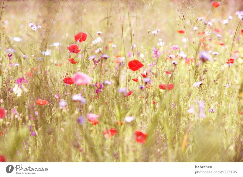 Wrong day, whatever! Nature Plant Spring Summer Beautiful weather Flower Grass Leaf Blossom Wild plant Poppy Garden Park Meadow Blossoming Fragrance Faded