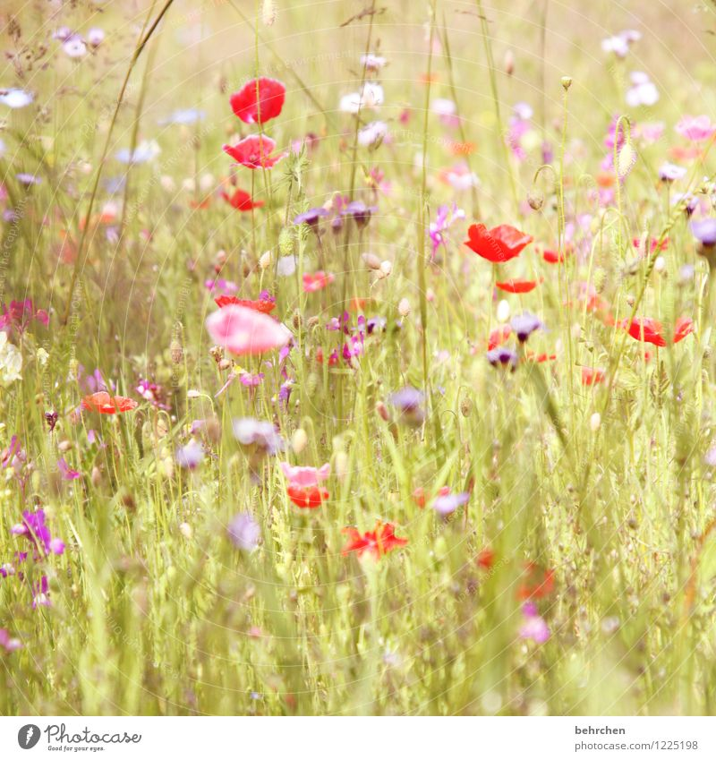 flora summer is back! Nature Plant Spring Summer Beautiful weather Flower Grass Leaf Blossom Wild plant Poppy Garden Park Meadow Field Blossoming Fragrance
