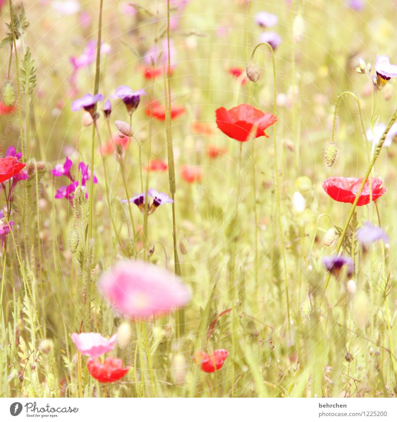 (h) Nature Plant Spring Summer Autumn Beautiful weather Flower Grass Leaf Blossom Wild plant Poppy Garden Park Meadow Field Blossoming Growth Kitsch Violet Pink
