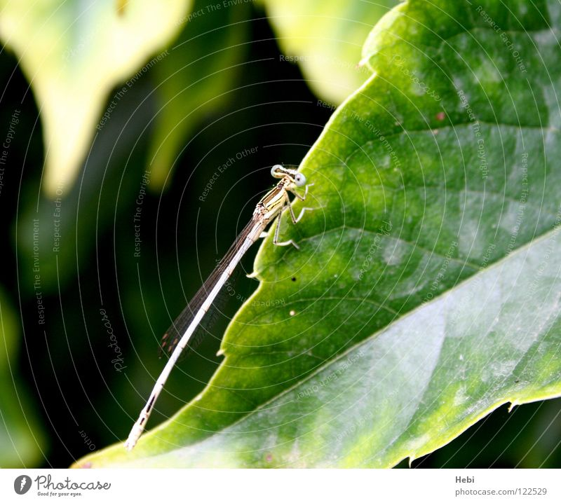 Nature Green Summer Leaf Yellow Flying Insect Disgust Aircraft Visitor Dragonfly Leaf green France Southern France Small dragonfly