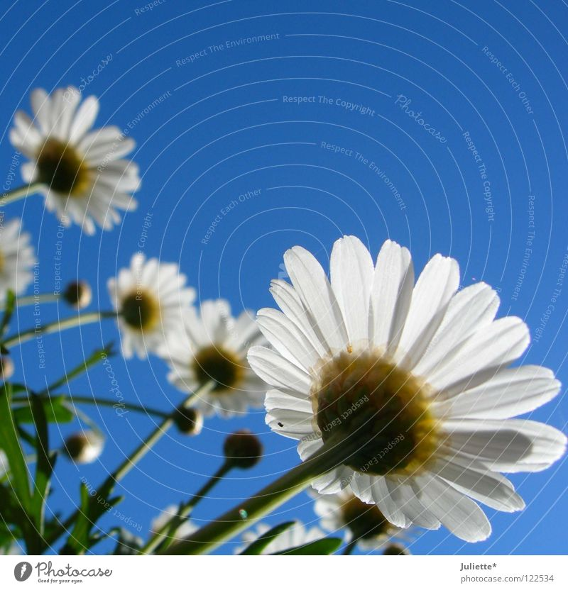 Beautiful Sky White Flower Green Blue Summer Warmth Growth Physics Blossoming Harvest Against Marguerite Flourish Sprout