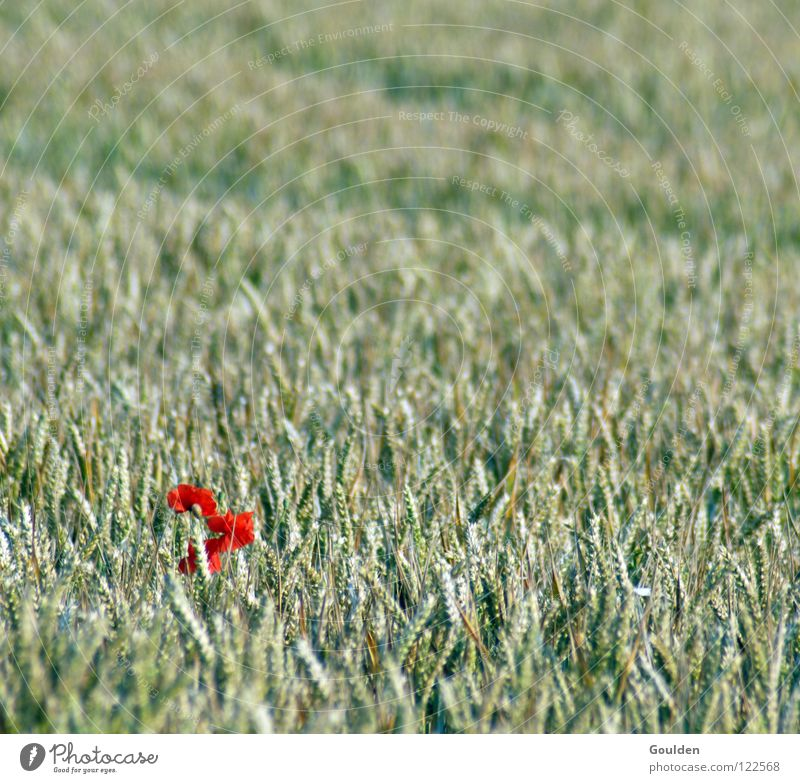 Nature Plant Red Flower Summer Loneliness Nutrition Food Healthy Contentment Field Exceptional Grain Agriculture Individual Poppy