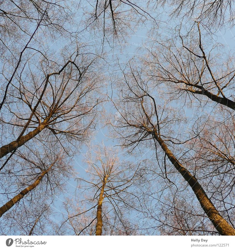duckling Tree Worm's-eye view Illuminate Delicate Skeleton Winter Date Branch Sky Upward Blue Beautiful weather Tree trunk ramified
