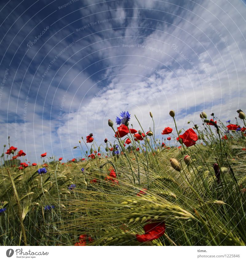 Spreedorado Painting. Food Grain Agriculture Forestry Sky Clouds Horizon Beautiful weather Plant Grass Blossom Agricultural crop Wild plant Cornflower Poppy
