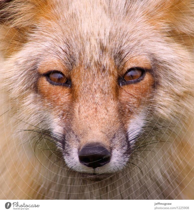 Foxy Nature Beautiful Animal Black Environment Orange Wild animal Cute Curiosity Listening Watchfulness Hunting Smart Wisdom