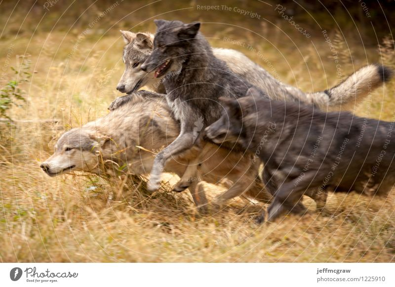 Grey Wolf Pack at Play Nature Animal Wild animal wolves 4 Group of animals Running Playing Romp Aggression Yellow Gray Black Exciting Excitement Playful