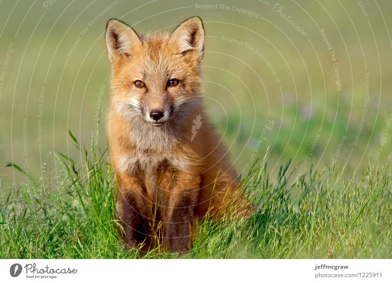 Curious Fox Kit Environment Nature Animal Wild animal Animal face 1 Baby animal Observe Small Green Orange Happiness Contentment Smart Curiosity Cute Delightful